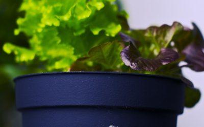 Growing Lettuce Indoors