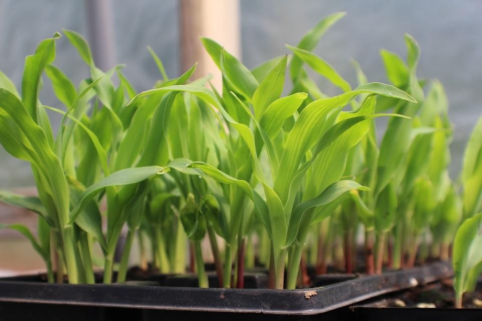 Planting and Growing Corn - Punos Garden